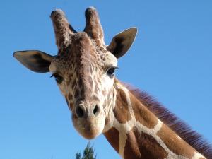 giraffe-bild II